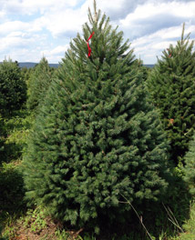 hill farms types of christmas trees. Black Bedroom Furniture Sets. Home Design Ideas