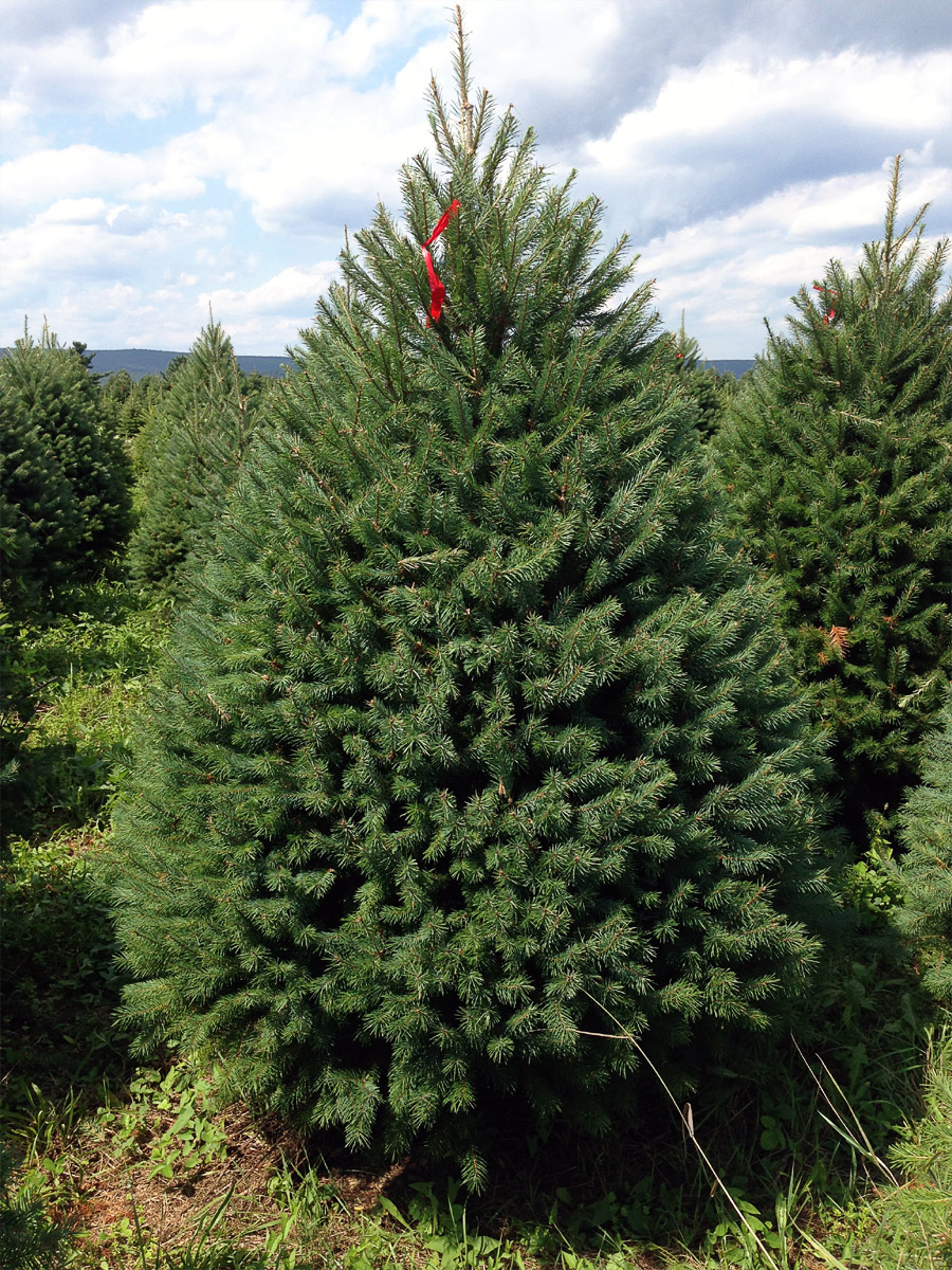 Hill Farms - Types of Christmas Trees