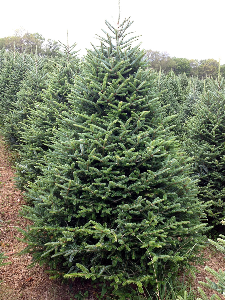 Type Of Christmas Trees.Hill Farms Types Of Christmas Trees