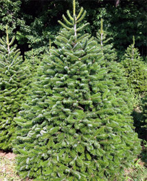 Turkish Fir